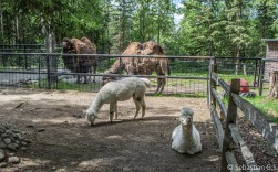 Alpacas and camels are apparently good neighbors