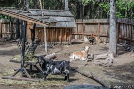 Goats and rooster